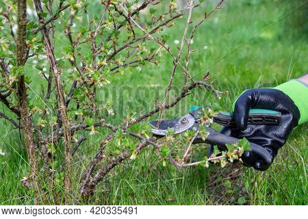 The Gardener Cuts Dry Branches On The Bushes With Scissors. Spring Pruning Of Bushes And Trees. Work