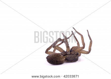 Wolf Spider Dead Profile