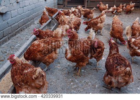 Flock Of Red Feathered Hens In The Yard Of Chicken Farm. Domestic Poultry.