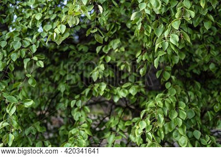 Hedge. Fence Made Of Plants With Green Leaves In The Courtyard Of A Provincial Town. Close-up.