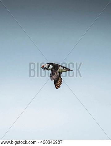 Flying puffin over the Farne Island in Northumberland, England