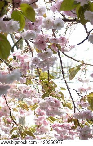 Close-up Of Cherry Blossom On An Overhanging Prunus Tree