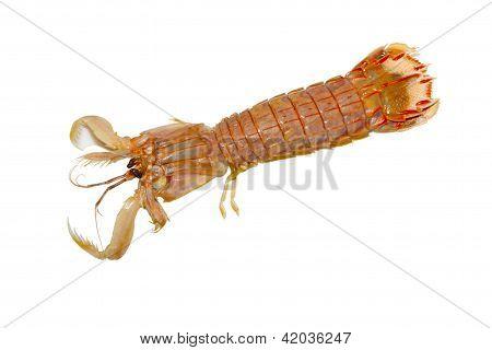Mantis Shrimp In A White Background