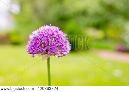 Beautiful Purple Flowers Of The Ornamental Onion , Allium Giganteum, Cultivar Globemaster.purple Col