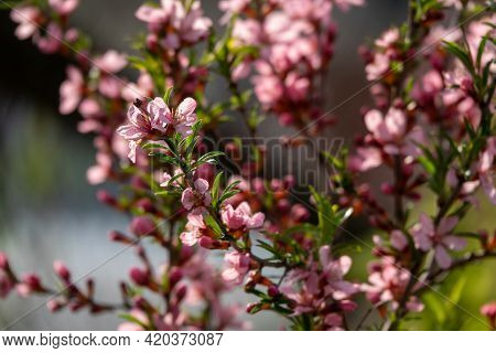 Flowering Almond Family Rosaceae In The Apothecary Garden Summer Background