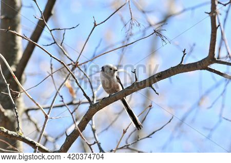 The Long-tailed Tit Sits On A Branch.