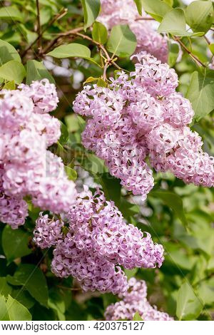 Big Lilac Branch Bloom In Garden After Rain. Bright Blooms Of Spring Lilacs Bush. Pink Flowers Close