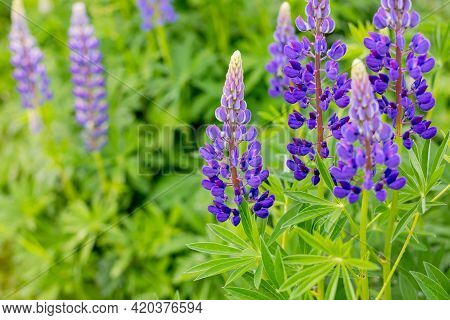 Violet Lupines Flowering In The Meadow.field Of Lupine Plant. Violet Purple Flowers. Colorful Bunch