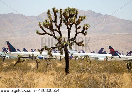 May 12, 2021 In Victorville, Ca:  Joshua Tree On An Arid Field With Retired Airliner Aircraft Beyond