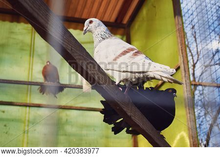 White, Black And Brown Pigeons Sit On Perches In A Cage. Breeding Of Purebred Pigeons. Close-up