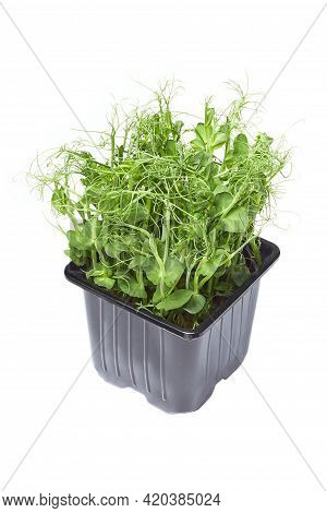 Growing Micro-green Green Pea Sprouts Isolated On A White Background. Cut Off The Path. Micro-greens