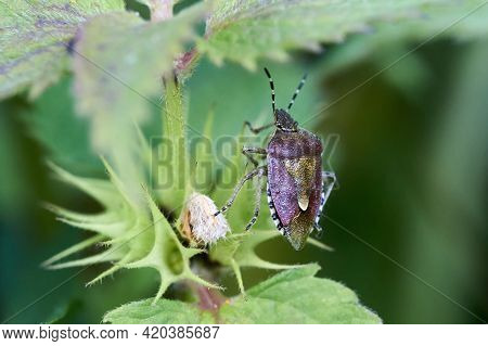 Detail Of A Shield Bug Or Stink Bug On The Leaf Of White Nettle
