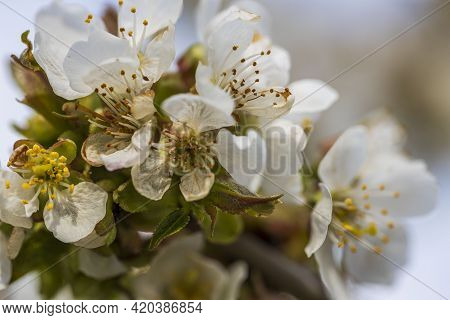 Gorgeous Blooming Cherry Tree On Background. Beautiful Spring Nature Backgrounds.