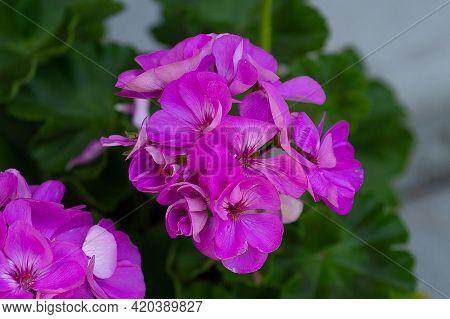Beautiful Composition Of Geranium Flower Pelargonium Flower Pink Dreen
