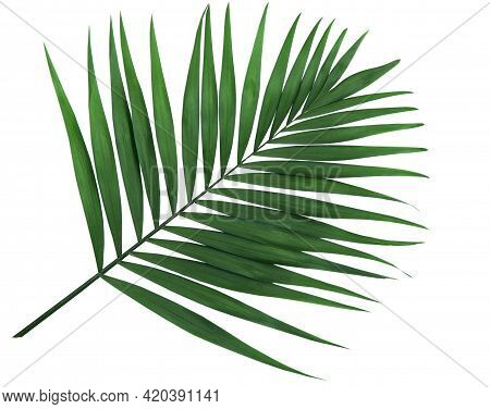 Isolated Green Leaf. Lush Leaf Of Palm Tree On White Background.