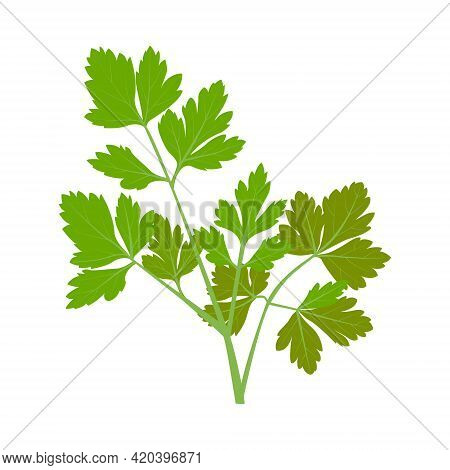 Parsley, Green Sprig Of Parsley. Vector Isolated On A White Background.