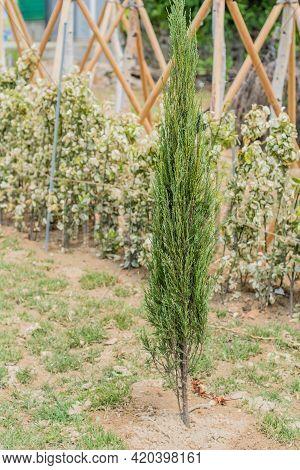 Thin Evergreen Bush In Garden With Slightly Blurred Background.