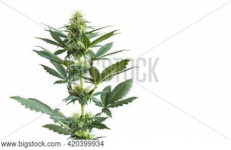 Cannabis Plant Isolated On White Background With Empty Place For Text. Banner With Green Flowering M
