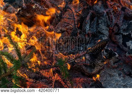 Spruce Branches Are On Fire, Close-up Of An Orange Dangerous Flame. A Fragment Of A Fire In Which Tr