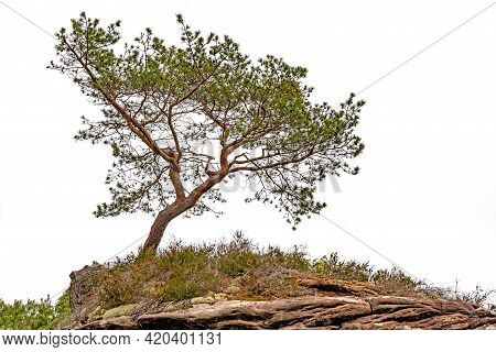 A Crippled Pine Stands On The Top Of A Mountain