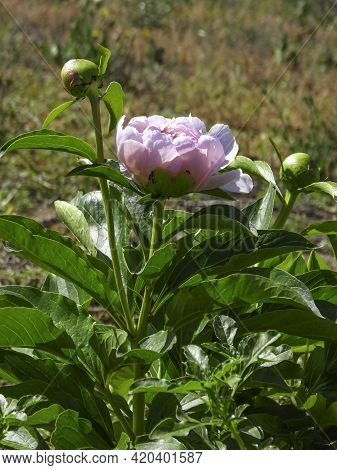 Closeup Of Pink Peony Flower And Bud Against Green Foliage Background