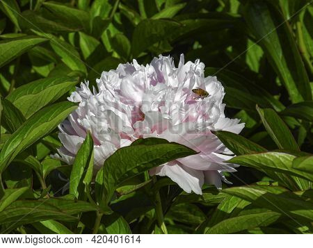 Closeup Of Pale Pink Peony Head Against Green Foliage Background