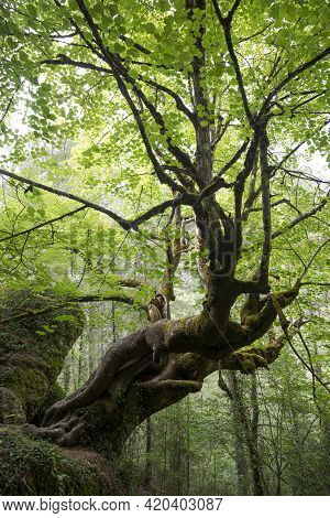 Majestic Large-leaved Lime, Tilia Platyphyllos, In Beteta Gorge, Province Of Cuenca, Spain