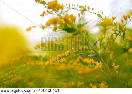 Defocus Blooming Broom Bush (cytisus Scoparius). Natural Background With Yellow Flowers. Nature Abst