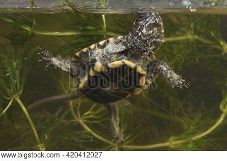 Baby European Pond Turtle, Emys Orbicularis Dives Into The Pond