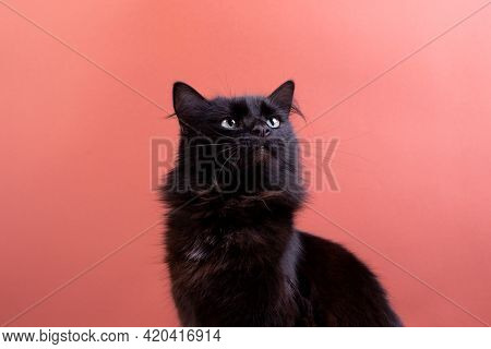 Halloween Cat With White Decorative Pumpkins Against The Rust Color Background. Portrait Of A Fluffy