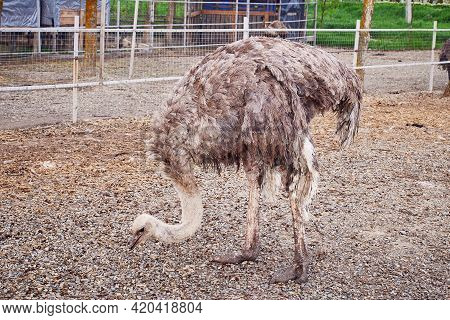 A Large Ostrich Emu Cassowary Walks Around The Enclosure. Ostrich Breeding Farm. Close-up