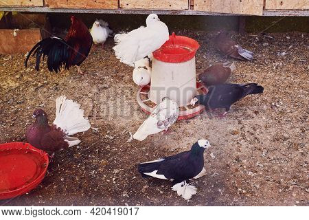 Different Breeds Of Pigeons Eat Food In The Feeder. Breeding Of Purebred Pigeons. Close-up