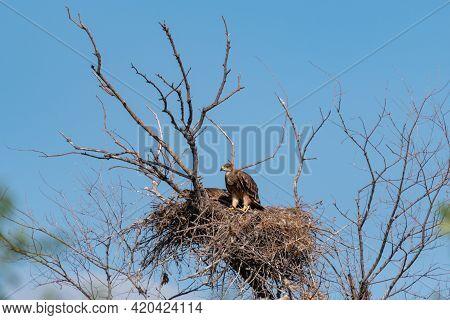 Eastern Imperial Eagle Aquila Heliaca. Wildlife Animal.