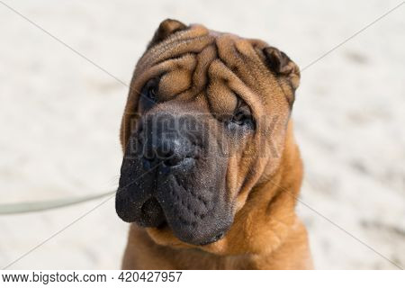 Shar Pei Dog On The Sand On A City River Beach In Warm Sunny Weather