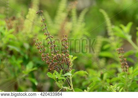 Holy Basil Flowers (ocimum Tenuiflorum) Isn't Like The Sweet Basil, This Green Leafy Plant, Also Kno
