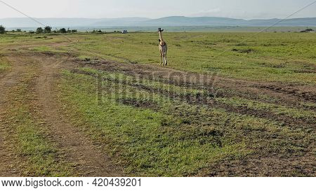 A Lone Giraffe Cub Walks On Green Grass In The Endless Savannah Of Africa. A Dirt Road Winds Nearby.