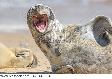 Shouting Seal. Wild Animal With Mouth Wide Open As If Laughing, Singing Or Screaming. Funny Animal M