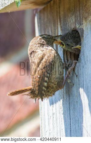 Wren Bird Feeding Its Chicks At Man-made Wooden Nest Box. Close Up Of A Wren (troglodytes Troglodyte