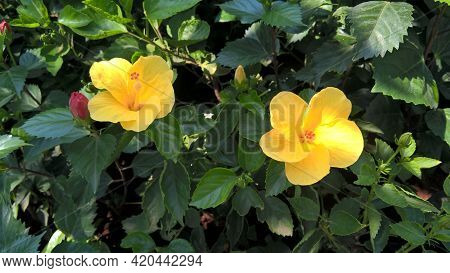 Scenic View Of Hibiscus Or Rosemallow Flower And Plants For Multipurpose Use
