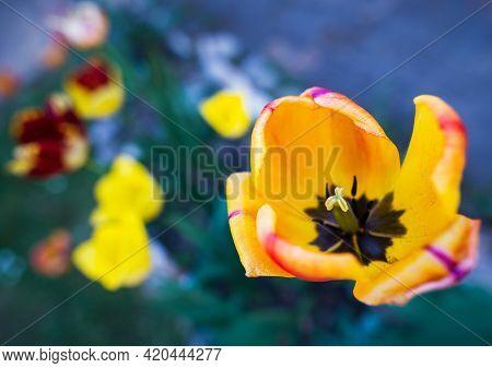 Orange tulips flower nature background. Tulips nature garden. Flowers nature background. Nature background for design. Spring nature background. Beautiful nature background. Colorful nature background Nature wildflowers. Nature for design. Spring nature.