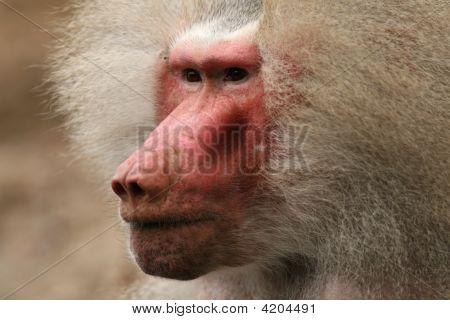 Portrait Of A Male Baboon