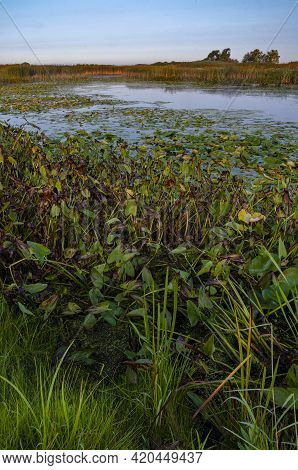 Pickerel Weed Are Among The Many Plants At The Shore Of Crooked Slough In Springbrook Prairie Forest