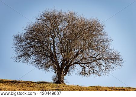 Beautiful Single Bare Tree In Autumn On Green And Brown Meadow And Clear Sky, Lessinia High Plateau,