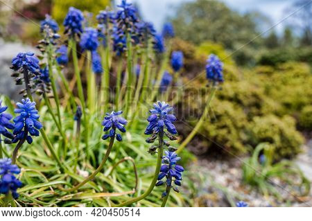 Muscari Is A Genus Of Perennial Bulbous Plants Native To Eurasia