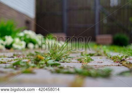 Thin Grass Grows Between The Paving Stones That Line The Path Next To The Flower Bed And Blooming Fl