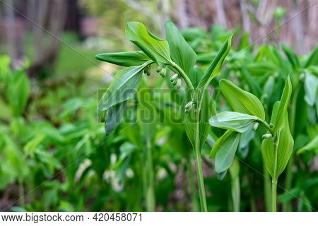 Kupen Flower (polygonatum) With Small Buds. Garden Bell With Large Bright Green Leaves. Spring Plant