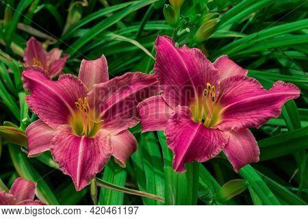 Flower Beds With Flowers In Summer Garden. Pink Daylilies Flowers (latin: Hemerocallis) On Green Lea