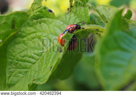A Few Colorado Beetle Larvae Eat The Potato Leaf. Close-up. A Bright Illustration On The Theme Of Pr