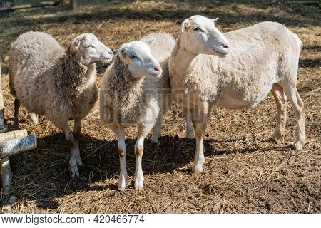 Sheep In The Corral. Sheep Pets On The Farm.