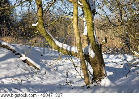 Dutch Forest With Trees Covered With Snow And In Sunshine During Wintertime